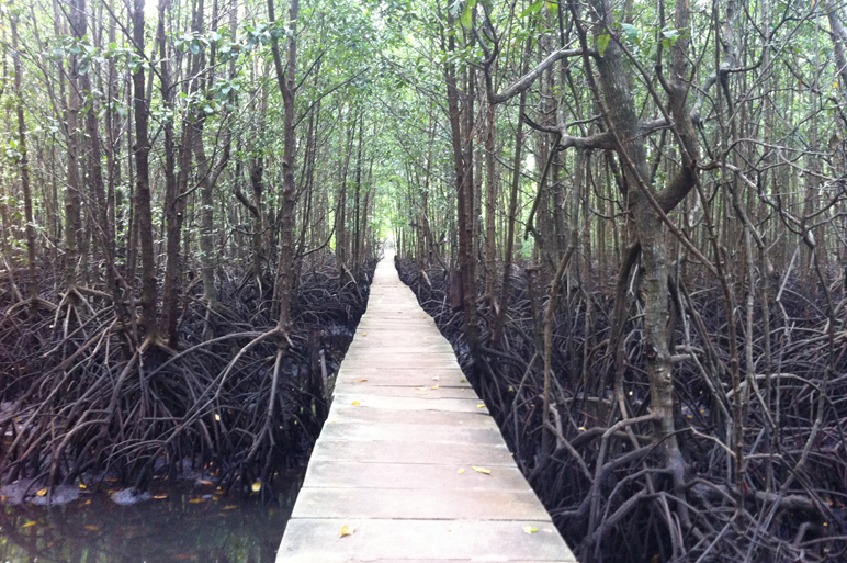 Path in the mangrove forest